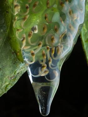 A transparent egg mass with developing glass frog tadpoles by Joel Sartore