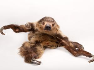 A two-toed sloth, Choloepus hoffmanni, at the Lincoln Children's Zoo. by Joel Sartore