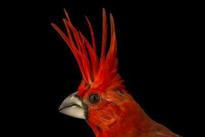 A vermilion cardinal, Cardinalis phoeniceus, at the National Aviary of Colombia. by Joel Sartore