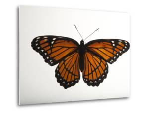 A Viceroy Butterfly, Limenitis Archippus, at the Lincoln Children's Zoo by Joel Sartore