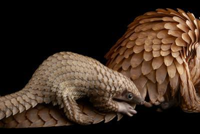 A Vulnerable Adult Female White Bellied Pangolin with Her Baby, at Pangolin Conservation by Joel Sartore
