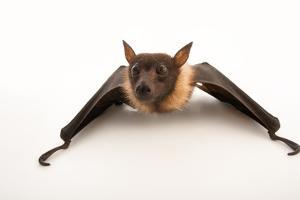 A vulnerable, Lyle's flying fox, Pteropus lylei, at the Budapest Zoo. by Joel Sartore