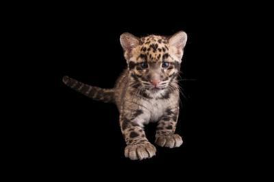 A Vulnerable, Nine-Week-Old Clouded Leopard Cub, Neofelis Nebulosa. by Joel Sartore