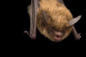 A vulnerable northern long eared bat being cared for by Nebraska Wildlife Rehab. by Joel Sartore