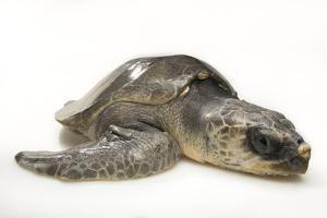 A vulnerable olive ridley sea turtle at the Loggerhead Marinelife Center. by Joel Sartore