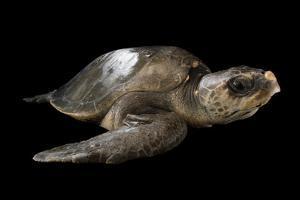 A Vulnerable Olive Ridley Sea Turtle, Lepidochelys Olivacea. by Joel Sartore