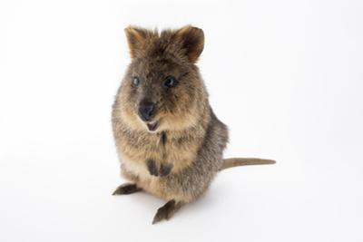 A vulnerable quokka, Setonix brachyurus, at the Taronga Zoo. by Joel Sartore