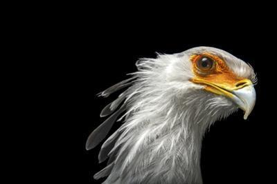 A Vulnerable Secretary Bird, Sagittarius Serpentarius, at the Toronto Zoo by Joel Sartore