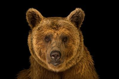 A Vulnerable Syrian Brown Bear, Ursus Arctos Syriacus, at the Budapest Zoo. by Joel Sartore