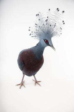A Vulnerable Victoria Crowned Pigeon, Goura Victoria, at Sylvan Heights Bird Park by Joel Sartore