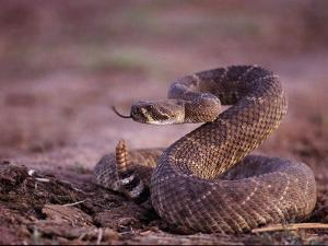 A Western Diamondback Rattlesnake Stands Coiled and Ready to Strike by Joel Sartore