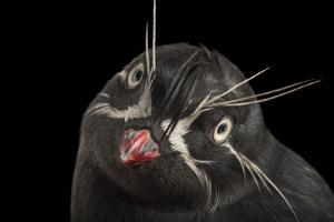 A Whiskered Auklet, Aethia Pygmaea, at the Cincinnati Zoo by Joel Sartore