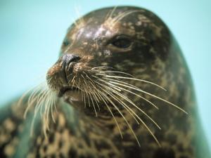A Whiskery Harbor Seal, Phoca Vitulina by Joel Sartore