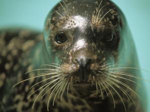 A Whiskery Harbor Seal, Phoca Vitulina by Joel Sartore