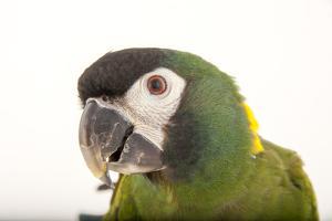 A Yellow-Collared Macaw, Ara Auricollis, at Omaha's Henry Doorly Zoo and Aquarium by Joel Sartore