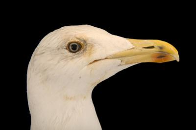 A Yellow Legged Gull, Larus Michahellis Michahellis by Joel Sartore