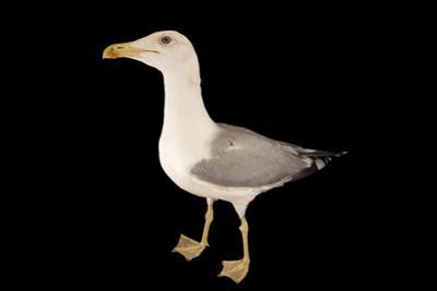 A Yellow Legged Gull, Larus Michahellis Michahellis