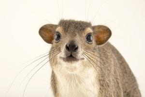 A yellow spotted hyrax, Heterohyrax brucei, at the Plzen Zoo. by Joel Sartore