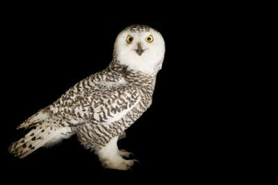 A Young Female Snowy Owl, Bubo Scandiacus, at Raptor Recovery Nebraska. by Joel Sartore