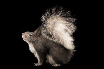 Abert's squirrel or tassel-eared squirrel, Sciurus aberti, at Liberty Wildlife. by Joel Sartore