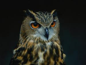 African Eagle Owl by Joel Sartore