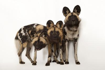African Wild Dogs, Lycaon Pictus, at the Omaha Zoo by Joel Sartore