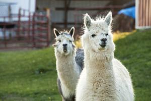 Alpacas Near Denton, Nebraska by Joel Sartore