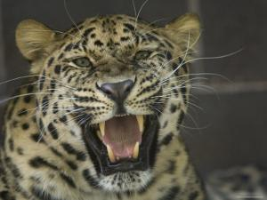Amur Leopard from the Omaha Zoo, Nebraska by Joel Sartore