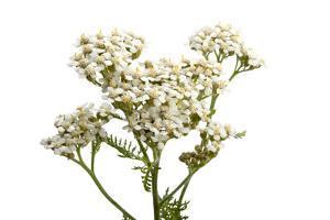 An Achillea Flower, Achillea Millefolium, known as the Common Yarrow by Joel Sartore