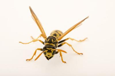 An adult female worker European paper wasp, Polistes dominula by Joel Sartore