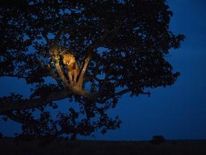 An African lion climbs a tree to sleep. by Joel Sartore