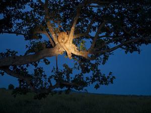 An African Lion Climbs a Tree to Sleep by Joel Sartore