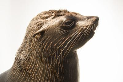 An Afro Australian Fur Seal, Arctocephalus Pusillus, at the Faunia Zoo. by Joel Sartore