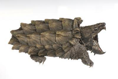 An Alligator Snapping Turtle, Macroclemys Temminckii. by Joel Sartore