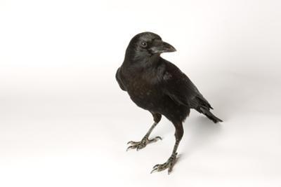 An American Crow, Corvus Brachyrhynchos. by Joel Sartore