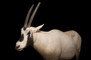 An Arabian Oryx, Oryx Leucoryx. by Joel Sartore