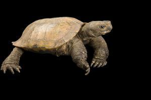 An Arakan Forest Turtle, Heosemys Depressa, at the Saint Louis Zoo. by Joel Sartore