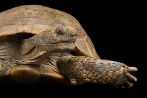 An Arizona Desert Tortoise, Gopherus Agassizii, at Rolling Hills Wildlife Adventure. by Joel Sartore