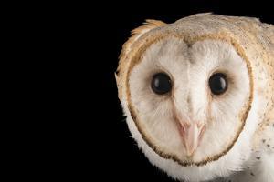 An Asian Barn Owl, Tyto Alba Javanica, at Penang Bird Park by Joel Sartore
