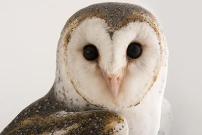 An Australian Barn Owl, Tyto Delicatula, at Healesville Sanctuary.