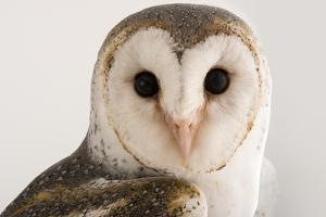 An Australian Barn Owl, Tyto Delicatula, at Healesville Sanctuary. by Joel Sartore