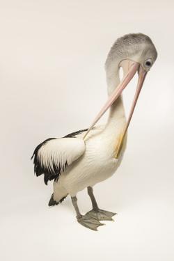 An Australian Pelican, Pelecanus Conspicillatus, at the Plzen Zoo by Joel Sartore