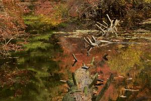 An Eastern Painted Turtle, Chrysemys picta, basks on a fallen tree at Wyman Meadow. by Joel Sartore
