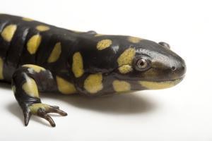 An Eastern Tiger Salamander, Ambystoma Tigrinum Tigrinum, at the Caldwell Zoo by Joel Sartore