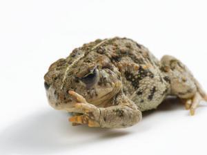 An endangered Amargosa toad by Joel Sartore