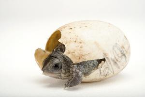 An Endangered Aquatic Box Turtle, Terrapene Coahuila, Hatches from His Egg. by Joel Sartore