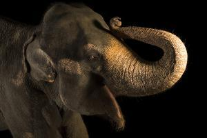 An endangered female Malayan elephant, Elephas maximus indicus, at the Singapore Zoo. by Joel Sartore