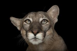 An Endangered Florida Panther, Puma Concolor Coryi, at Tampa's Lowry Park Zoo. by Joel Sartore