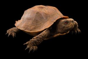 An endangered jagged shelled turtle, Pyxidea mouhotii, at the Assam State Zoo. by Joel Sartore
