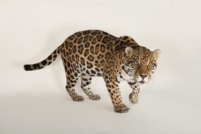 An Endangered Jaguar, Panthera Onca. by Joel Sartore